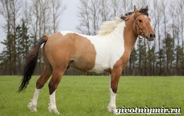 Пегая-лошадь-Описание-особенности-уход-и-цена-пегой-лошади-5