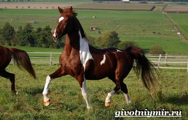 Пегая-лошадь-Описание-особенности-уход-и-цена-пегой-лошади-6