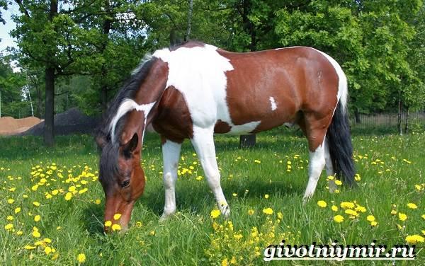 Пегая-лошадь-Описание-особенности-уход-и-цена-пегой-лошади-7