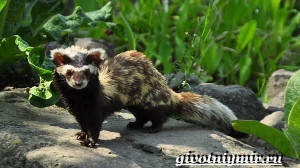 Перевязка-животное-Образ-жизни-и-среда-обитания-перевязки-1