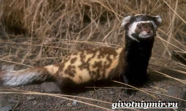 Перевязка-животное-Образ-жизни-и-среда-обитания-перевязки-2