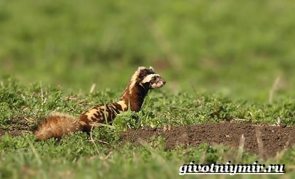 Перевязка-животное-Образ-жизни-и-среда-обитания-перевязки-4