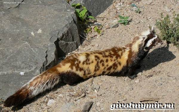 Перевязка-животное-Образ-жизни-и-среда-обитания-перевязки-6