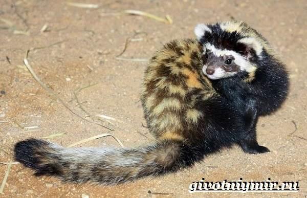 Перевязка-животное-Образ-жизни-и-среда-обитания-перевязки-7