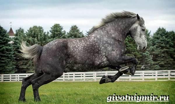 Першерон-лошадь-Описание-уход-и-цена-лошади-першерон-10