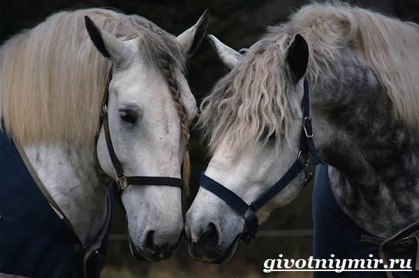 Першерон-лошадь-Описание-уход-и-цена-лошади-першерон-11