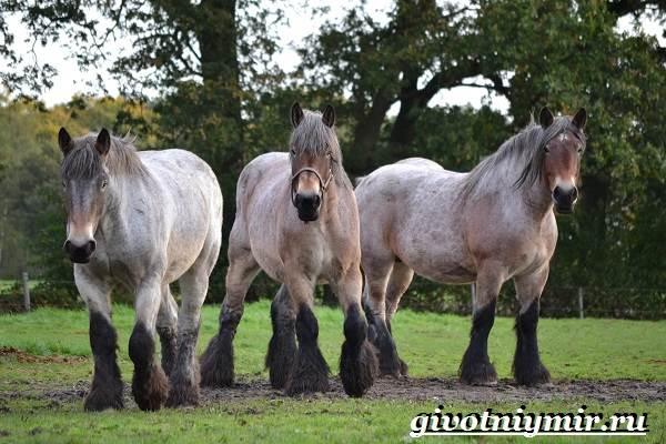 Першерон-лошадь-Описание-уход-и-цена-лошади-першерон-12