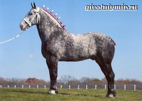 Першерон-лошадь-Описание-уход-и-цена-лошади-першерон-3