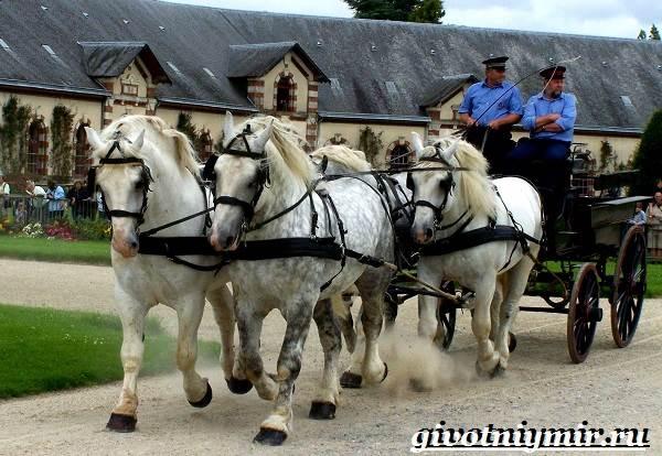 Першерон-лошадь-Описание-уход-и-цена-лошади-першерон-6