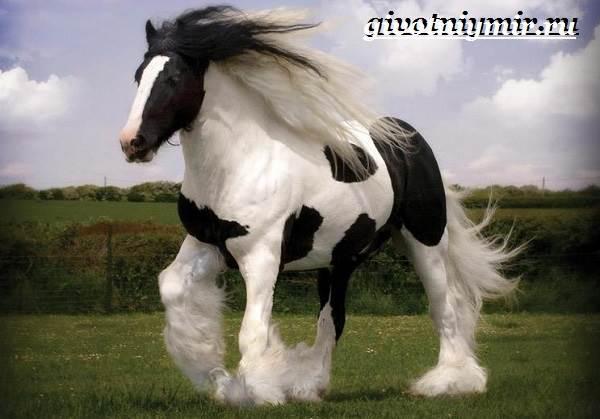 Першерон-лошадь-Описание-уход-и-цена-лошади-першерон-9