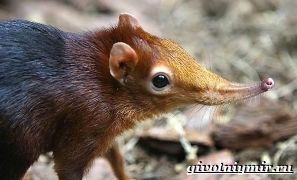 Петерса-собачка-Образ-жизни-и-среда-обитания-хоботковой-собачки-петерсы-8