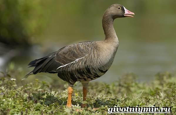 Пискулька-птица-Образ-жизни-и-среда-обитания-пискульки-1