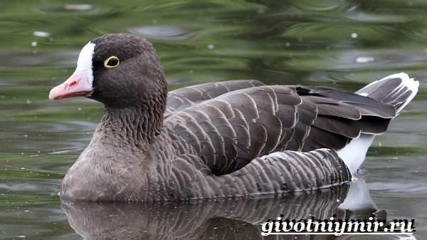 Пискулька-птица-Образ-жизни-и-среда-обитания-пискульки-2