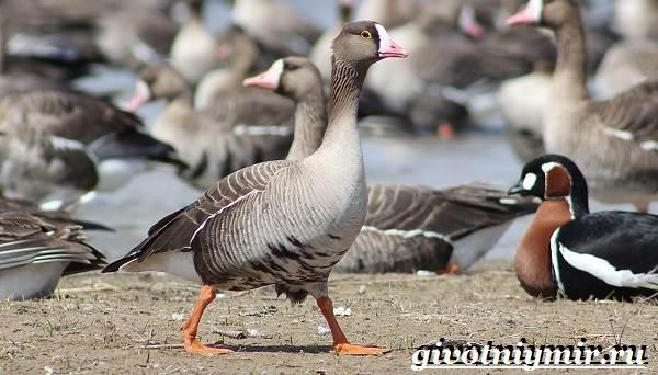 Пискулька-птица-Образ-жизни-и-среда-обитания-пискульки-4