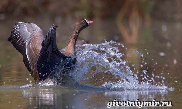 Пискулька-птица-Образ-жизни-и-среда-обитания-пискульки-5