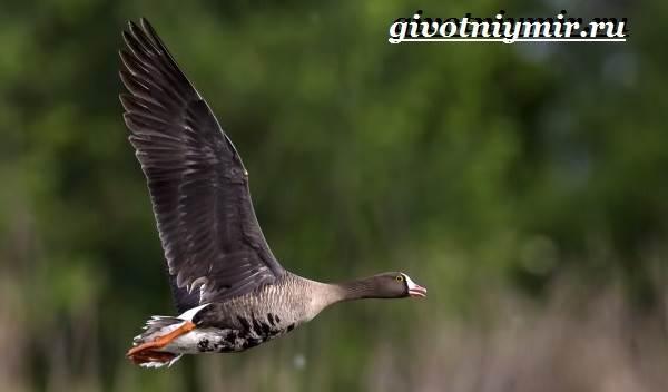 Пискулька-птица-Образ-жизни-и-среда-обитания-пискульки-6