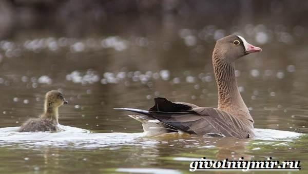 Пискулька-птица-Образ-жизни-и-среда-обитания-пискульки-7