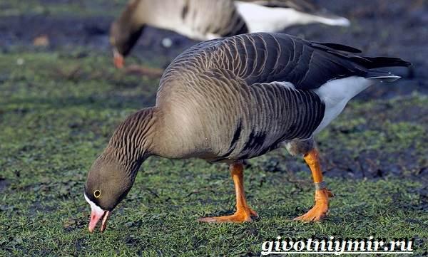 Пискулька-птица-Образ-жизни-и-среда-обитания-пискульки-8