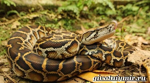 Питон-змея-Образ-жизни-и-среда-обитания-питона-1