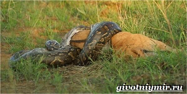 Питон-змея-Образ-жизни-и-среда-обитания-питона-10