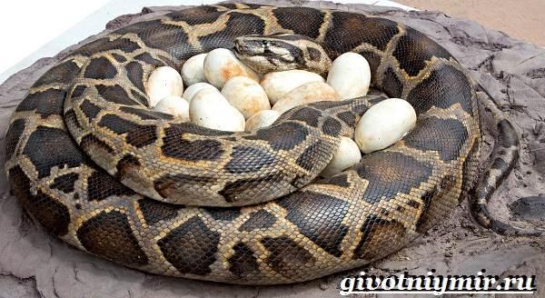 Питон-змея-Образ-жизни-и-среда-обитания-питона-13