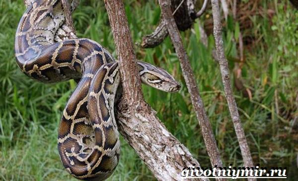 Питон-змея-Образ-жизни-и-среда-обитания-питона-14