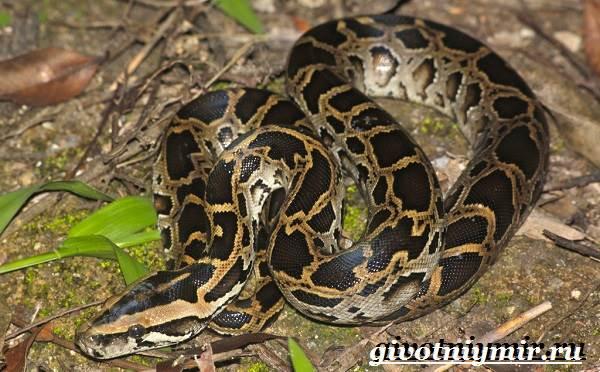 Питон-змея-Образ-жизни-и-среда-обитания-питона-2