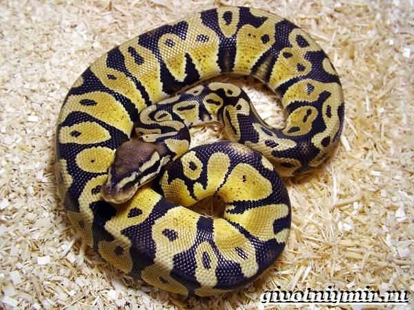 Питон-змея-Образ-жизни-и-среда-обитания-питона-5
