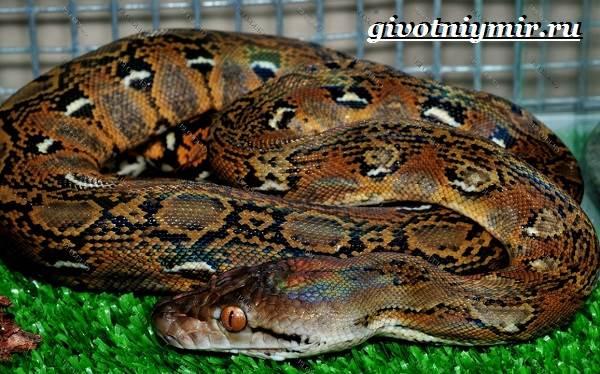 Питон-змея-Образ-жизни-и-среда-обитания-питона-6