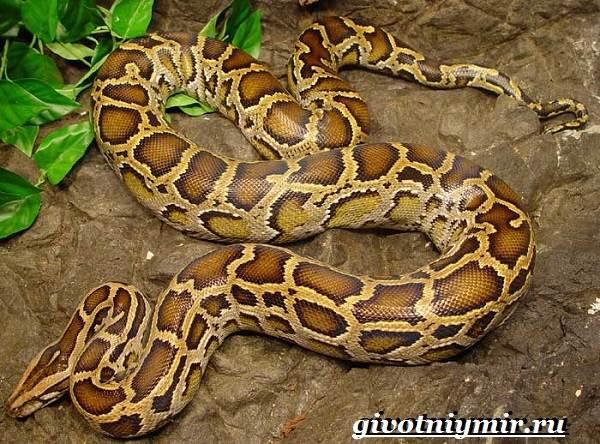 Питон-змея-Образ-жизни-и-среда-обитания-питона-9