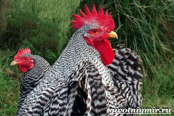 Плимутрок-курица-Описание-особенности-уход-и-цена-породы-плимутрок-2