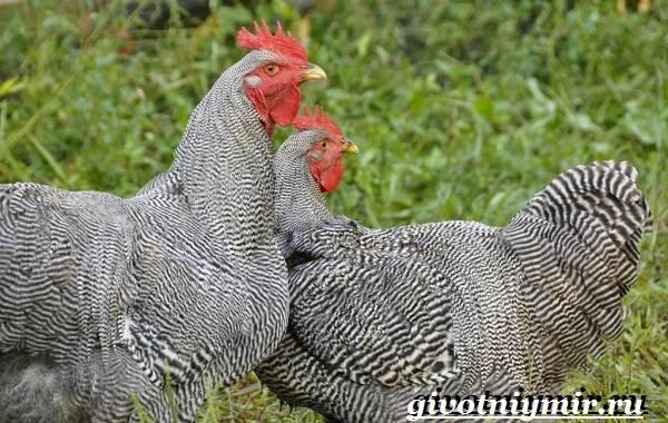 Плимутрок-курица-Описание-особенности-уход-и-цена-породы-плимутрок-7