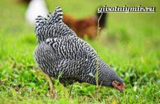 Плимутрок курица. Описание, особенности, уход и цена породы плимутрок