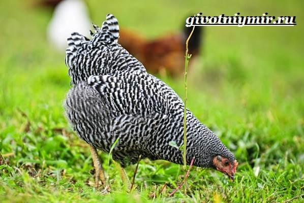Плимутрок-курица-Описание-особенности-уход-и-цена-породы-плимутрок-8