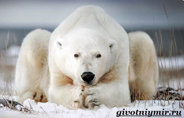 Полярный-медведь-Образ-жизни-и-среда-обитания-полярного-медведя-1