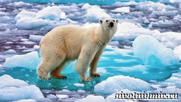 Полярный-медведь-Образ-жизни-и-среда-обитания-полярного-медведя-2