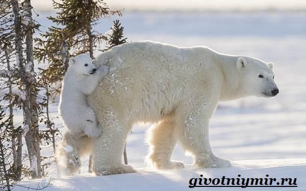 Полярный-медведь-Образ-жизни-и-среда-обитания-полярного-медведя-4