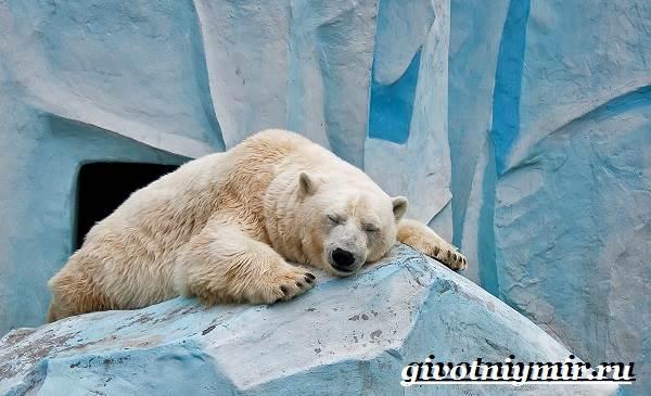 Полярный-медведь-Образ-жизни-и-среда-обитания-полярного-медведя-5