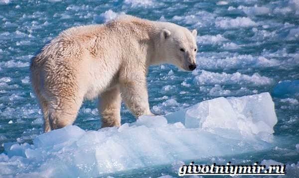 Полярный-медведь-Образ-жизни-и-среда-обитания-полярного-медведя-6