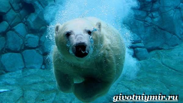 Полярный-медведь-Образ-жизни-и-среда-обитания-полярного-медведя-7
