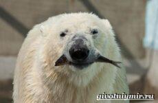 Полярный медведь. Образ жизни и среда обитания полярного медведя