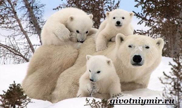 Полярный-медведь-Образ-жизни-и-среда-обитания-полярного-медведя-9