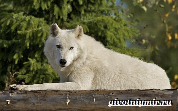 Полярный-волк-Образ-жизни-и-среда-обитания-полярного-волка-1