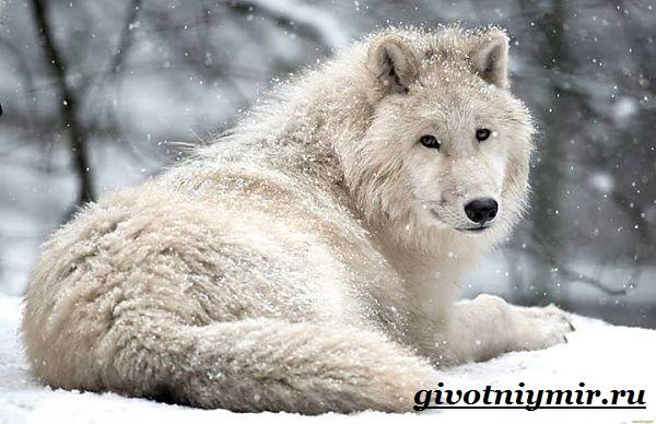 Полярный-волк-Образ-жизни-и-среда-обитания-полярного-волка-2