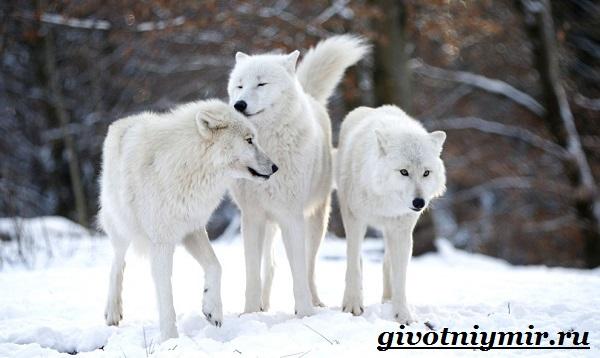 Полярный-волк-Образ-жизни-и-среда-обитания-полярного-волка-3