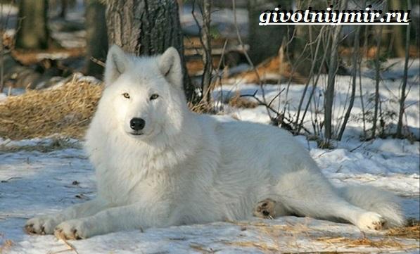 Полярный-волк-Образ-жизни-и-среда-обитания-полярного-волка-4
