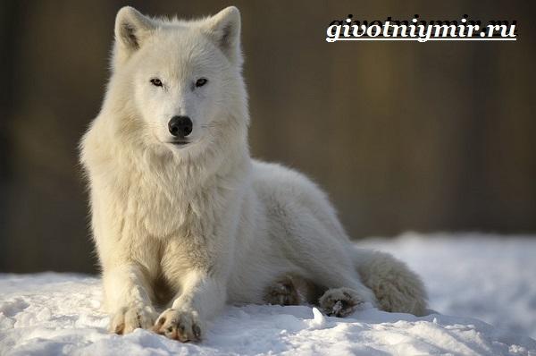 Полярный-волк-Образ-жизни-и-среда-обитания-полярного-волка-5