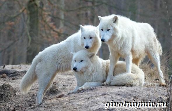 Полярный-волк-Образ-жизни-и-среда-обитания-полярного-волка-6