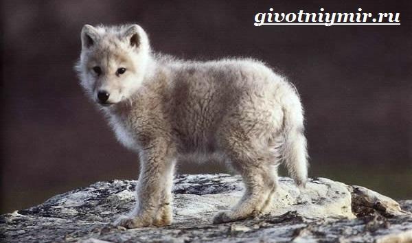 Полярный-волк-Образ-жизни-и-среда-обитания-полярного-волка-7