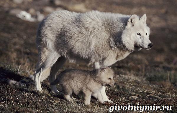 Полярный-волк-Образ-жизни-и-среда-обитания-полярного-волка-8